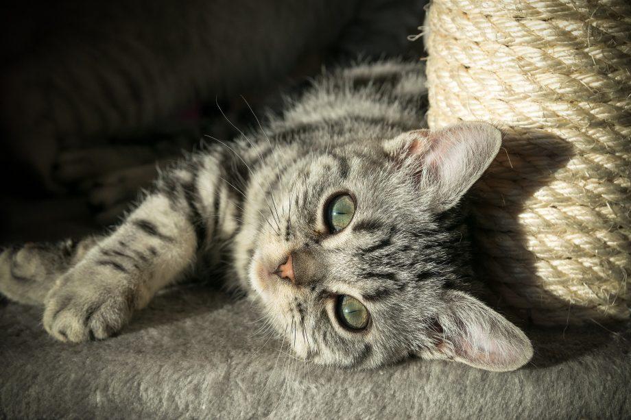 Katzen sollten von Anfang an an eine Kratzmöglichkeit gewöhnt werden. Besonders praktisch: EIn Kratzbaum. Foto: Pixabay.com/12222786